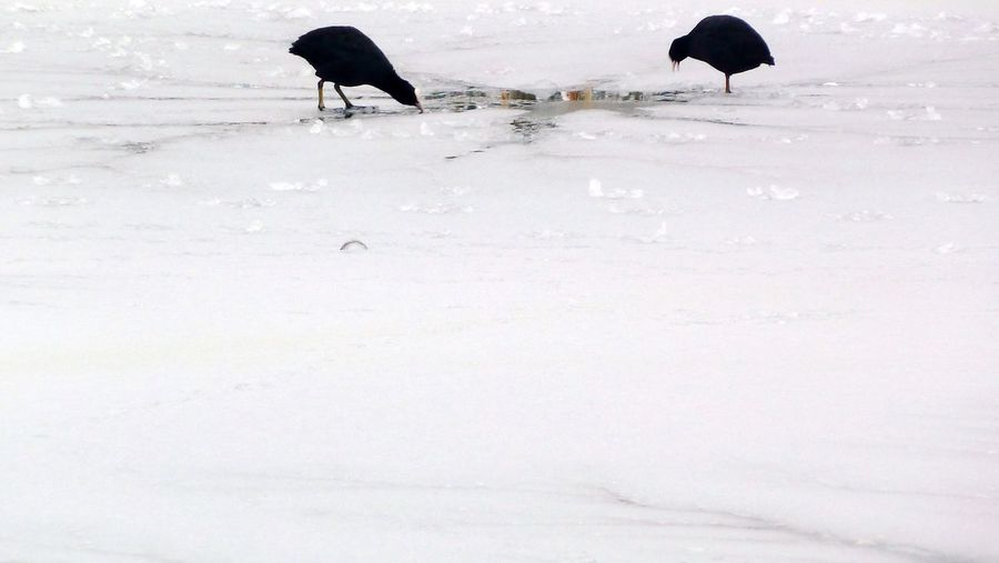 Birds Pecking Ice Icy Pond Two Birds Frozen Water Winter Blackbirds Icy
