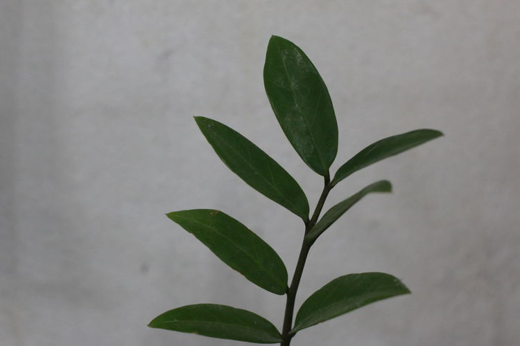 green leaf Zamioculcas zamifolia Zanzibar gem, aroid palm , arum fern Araseae Arum Fern Zamioculcas Zamifolia Zamioculcas Zamifolia Zanzibar Gem Zanzibar Gem Aroid Palm Palm Or Fern