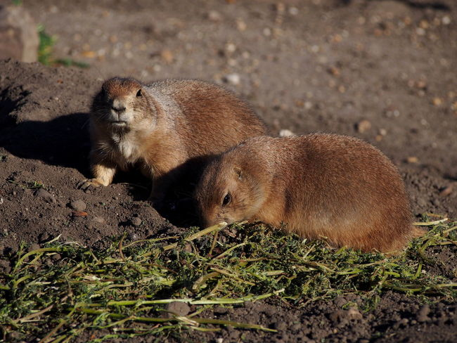Animal Animal Themes Animal Wildlife Animals In The Wild Brown Day Field High Angle View Land Mammal Nature No People One Animal Outdoors Relaxation Rodent Underwater Vertebrate Zoobudapest Zoology