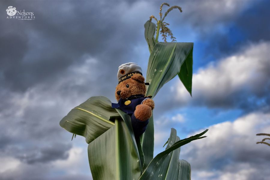 Nelson on the top of a corn plant. NelsonsAdventures Teddy Teddy Bear Teddybear Corn Cornfield Sky Stuffed Toy Close-up Toy EyeEm Masterclass EyeEm Nature Lover Summertime On Top Nature Clouds Nikon Summer Field Leaves Funny