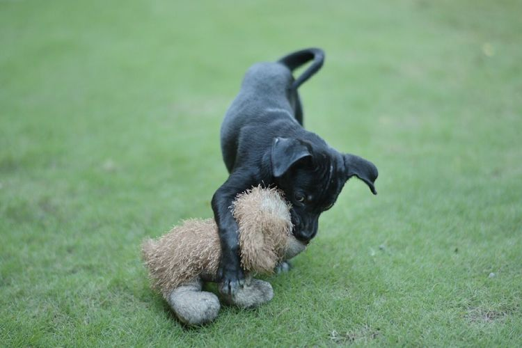 High angle view of puppy playing with toy on field