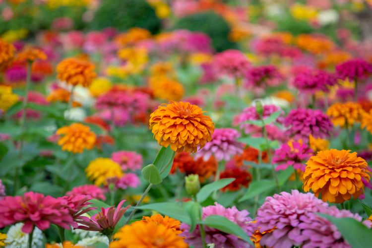 Zinnia flowers in the garden is a popular flower grown in the house and the place because many beautiful colors. Flowering Plant Flower Freshness Plant Fragility Vulnerability  Growth Beauty In Nature Petal Inflorescence Flower Head Close-up Nature No People Focus On Foreground Pink Color Day Park Yellow Park - Man Made Space Outdoors Zinnia Flower Garden Yellow Color Red Color