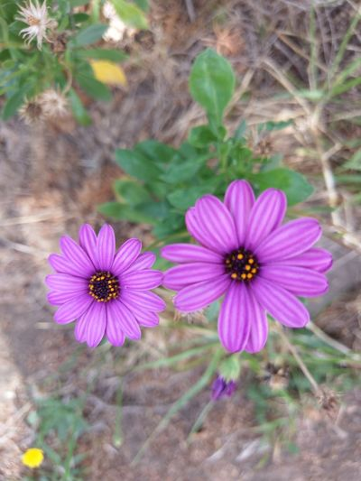 Flower Flower Purple Flower Sydney Purple Flower Australia Perspectives On Nature
