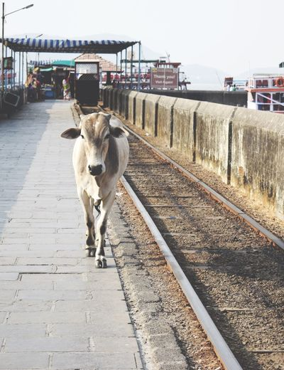 Wild Cows on the Ferry Boat Dock . Animal Themes Transportation The Way Forward Domestic Animals Railroad Track Outdoors One Animal Mammal Sky Day Dog Pets No People Architecture