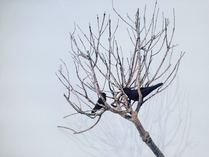 Crows on bare tree
