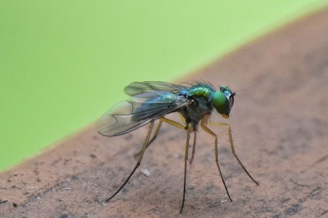 Insect Animals In The Wild Animal Themes One Animal Animal Wildlife Day Close-up No People Outdoors Fly Green Fly Insect Photography Insect Macro  Nature Condylostylus Sipho Condylostylus Long Legged Fly Long-legged Fly