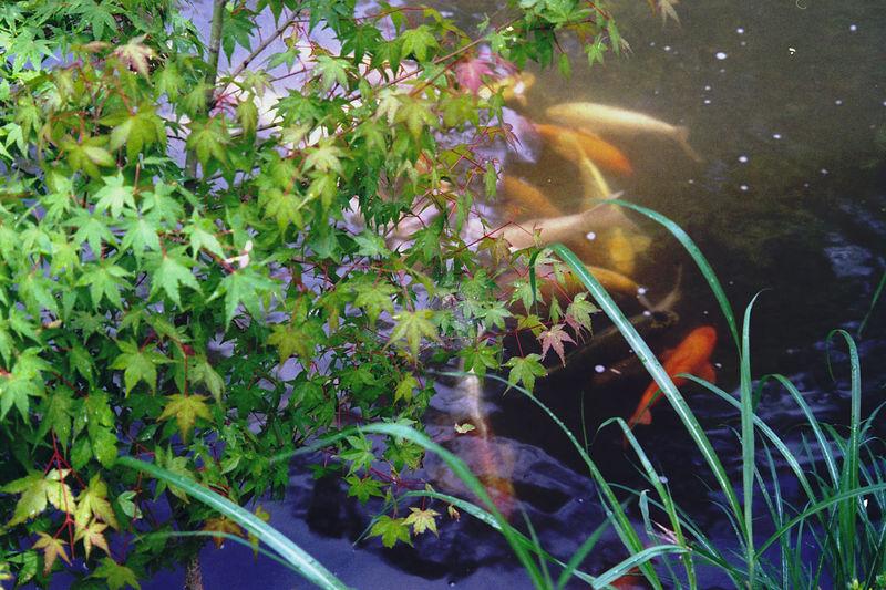 OLYMPUS μ 105 zoom deluxe 300円のカメラと写真屋さんのおじさんにいただいた8年前のフィルム テストのつもりだったけど、しっかり写ってくれました。 フィルム フィルム写真 Film Photography Film 花 Flower Olympus Olympus Mju Water Sea Life Swimming Close-up Jellyfish Fish Tank Water Plant Underwater Water Lily Aquarium