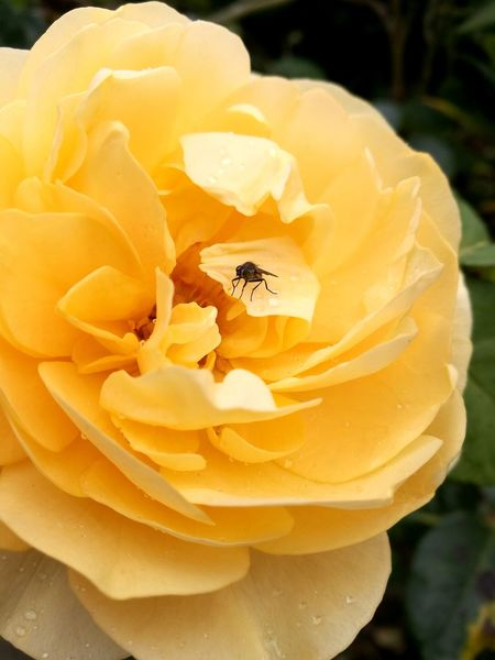 Flower Nature Petal Fragility Flower Head Freshness Plant Beauty In Nature Yellow Growth No People Close-up Outdoors Day Rose - Flower Peony  Water Fly Nature Leaf