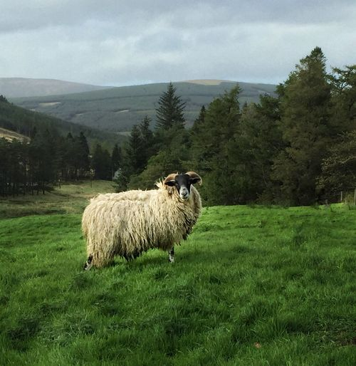 Scottish Blackface Ram Animal Themes Domestic Animals Livestock One Animal Grass Field Domestic Cattle Sheep Side View Green Color Tree Landscape Grassy Rural Scene Tranquility Herbivorous Nature Tranquil Scene Pasture