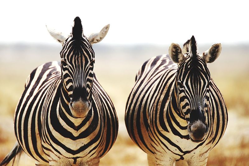 Kenya Masai Mara National Reserve Striped Zebra Animals In The Wild Animal Wildlife Animal Themes Nature EyeEmNewHere Safari Animals