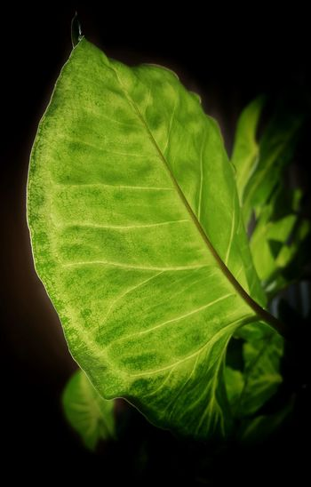 AntiM Green And Black Green Color Beauty In Nature Black Background Close-up Day Freshness Green Color Green Leaf Green Leaves Leaf Leaves Nature No People Outdoors