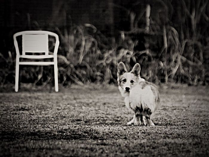 Processed photo. Pets Domestic Animals One Animal Dog Mammal No People Portrait Looking At Camera Pet Portraits Corgi Pet Photography  Pembroke Welsh Corgi Welsh Corgi Lookingback Outdoors Day Nature