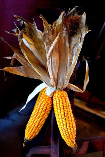 Halloween Beauty In Nature Close-up Corn Corn Kernels Corn On The Cob Food Freshness Growth Nature No People Vegetable Vegetables Yellow Yellow Color