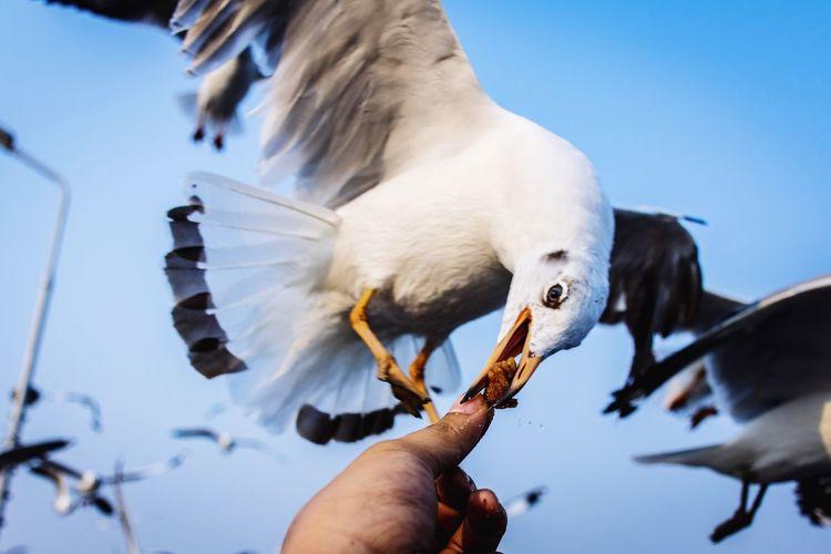 Feeding  Feeding The Birds Feeding Birds Feed  Human Hand Bird Beak Bird Of Prey Close-up Animal Body Part Sea Bird Seagull Water Bird Flock Of Birds