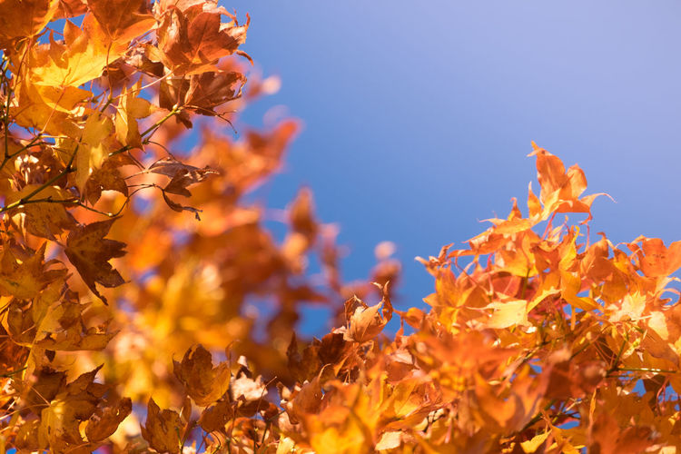 Close-up of yellow maple leaves against sky