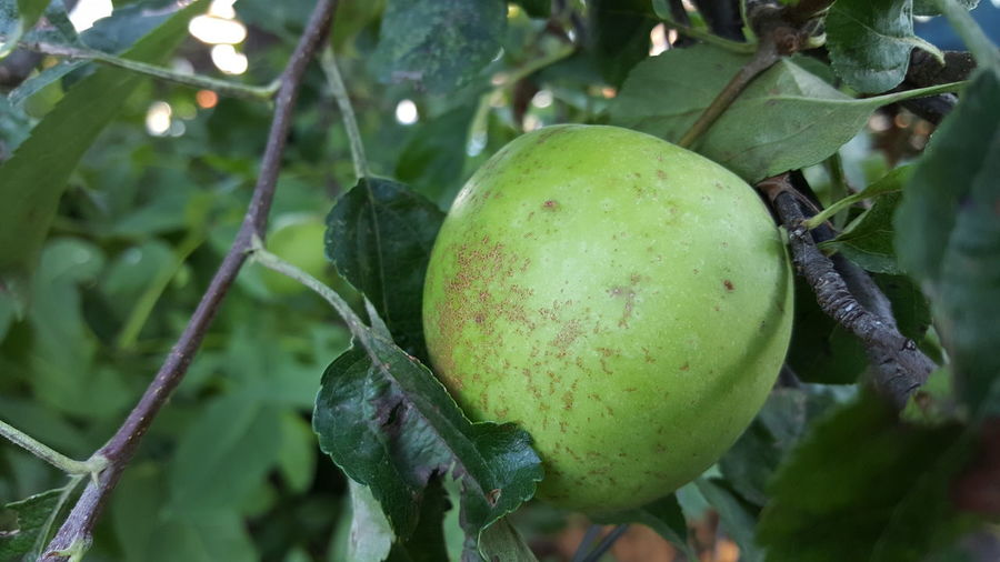 apple organic Apple Organic Organic Growing Tree Fruit Leaf Agriculture Unripe Branch Close-up Green Color Food And Drink Plant Fruit Tree Orchard Grove Twig Apple Tree