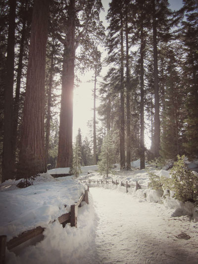 Sequoia National Park path Beauty In Nature Cold Temperature Day Forest Landscape Nature No People Outdoors Scenics Sequoia Sequoia Forest Sequoia National Park Sky Snow Tree Winter