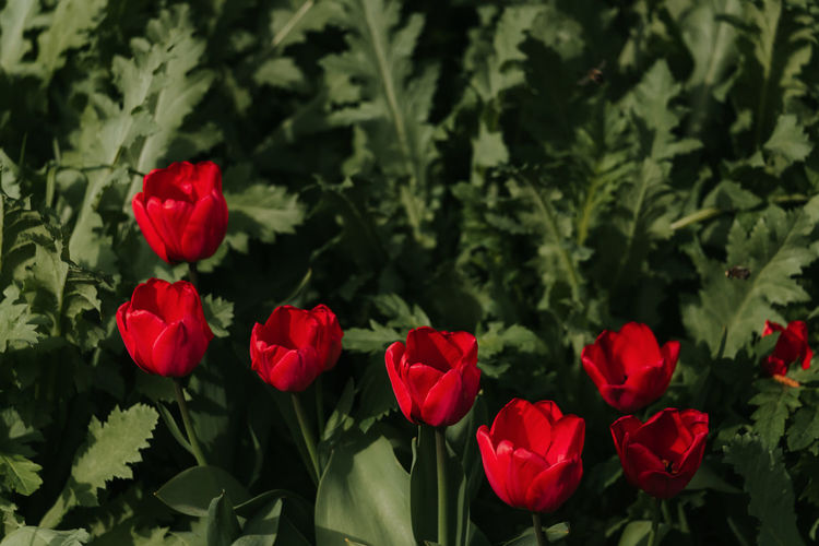Close-up of red roses against plants