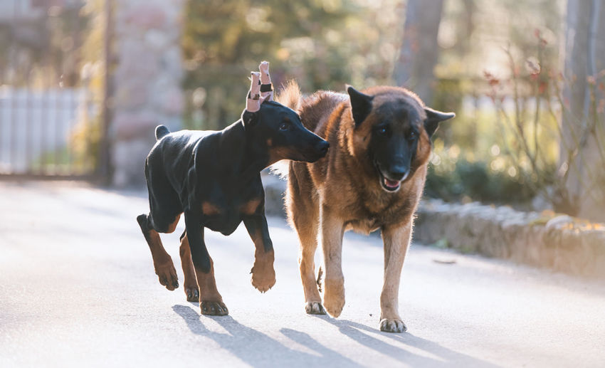 Runing dogs
