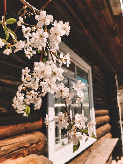 Close-up of white cherry blossoms by house window