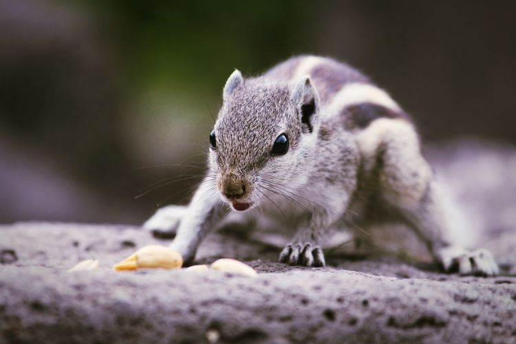 Close-Up Of Chipmunk On Rock