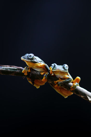 Wallace's flying frog, tree frog on a branch Animal Animal Themes Animal Wildlife Animals In The Wild Copy Space Group Of Animals Close-up Black Background Studio Shot Two Animals Nature No People Amphibian Indoors  Night Invertebrate Vertebrate Water Marine