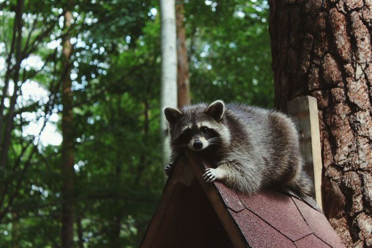 Cute Raccoon Outdoors