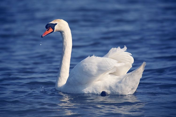 Swan Swan Animal Themes Animals In The Wild Water Bird Animal Wildlife Animal Swan One Animal Swimming Water Bird White Color Floating On Water Nature