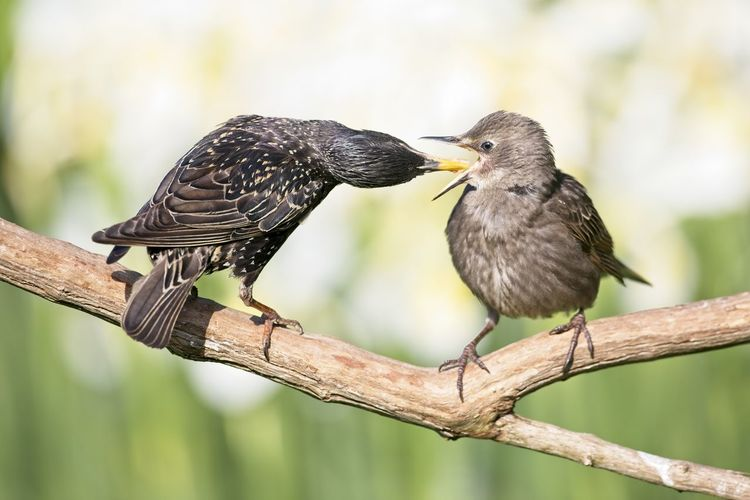 Juvenile Starling (sturnus vulgaris) takes food from an adult, UK Feeding  Sturnus Vulgaris Animal Animal Themes Animal Wildlife Animals In The Wild Beak Bird Branch Close-up Day Focus On Foreground Group Of Animals Juvenile Mouth Open Nature No People Outdoors Perching Starlings Togetherness Tree Two Animals Vertebrate Wood - Material