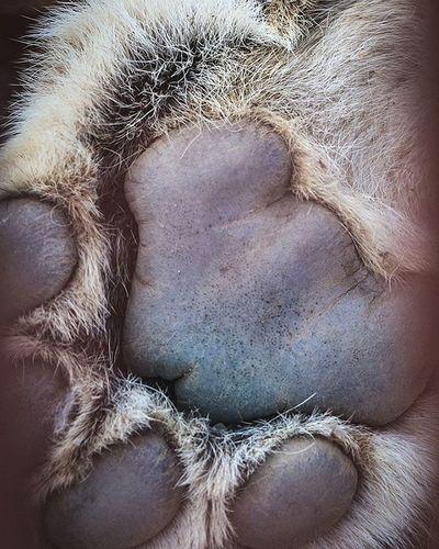 Russia Perm Inperm Пермь Animal Animals лев  лева Lion Paw Paws лапа Лапка корольджунглей Best_photogram Permregion Permloves Earthfocus