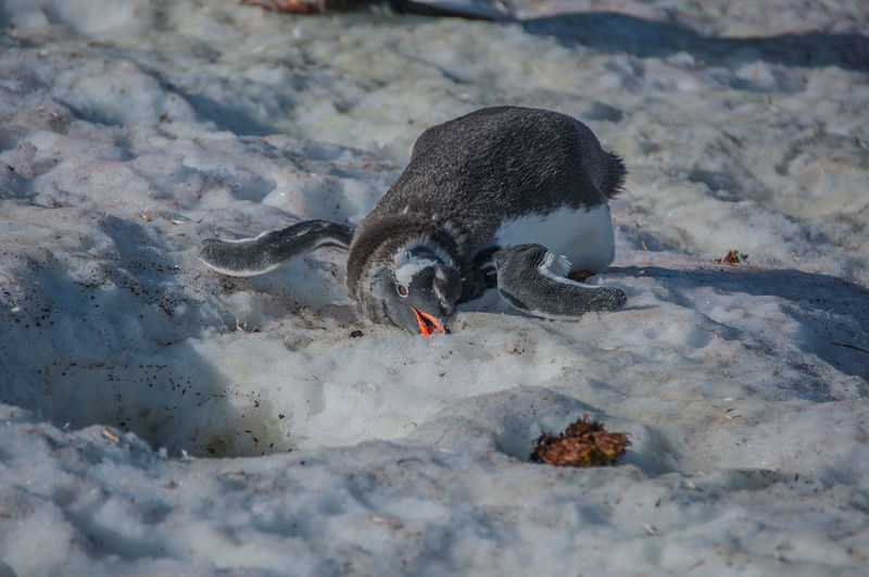Duck eating bird on sand