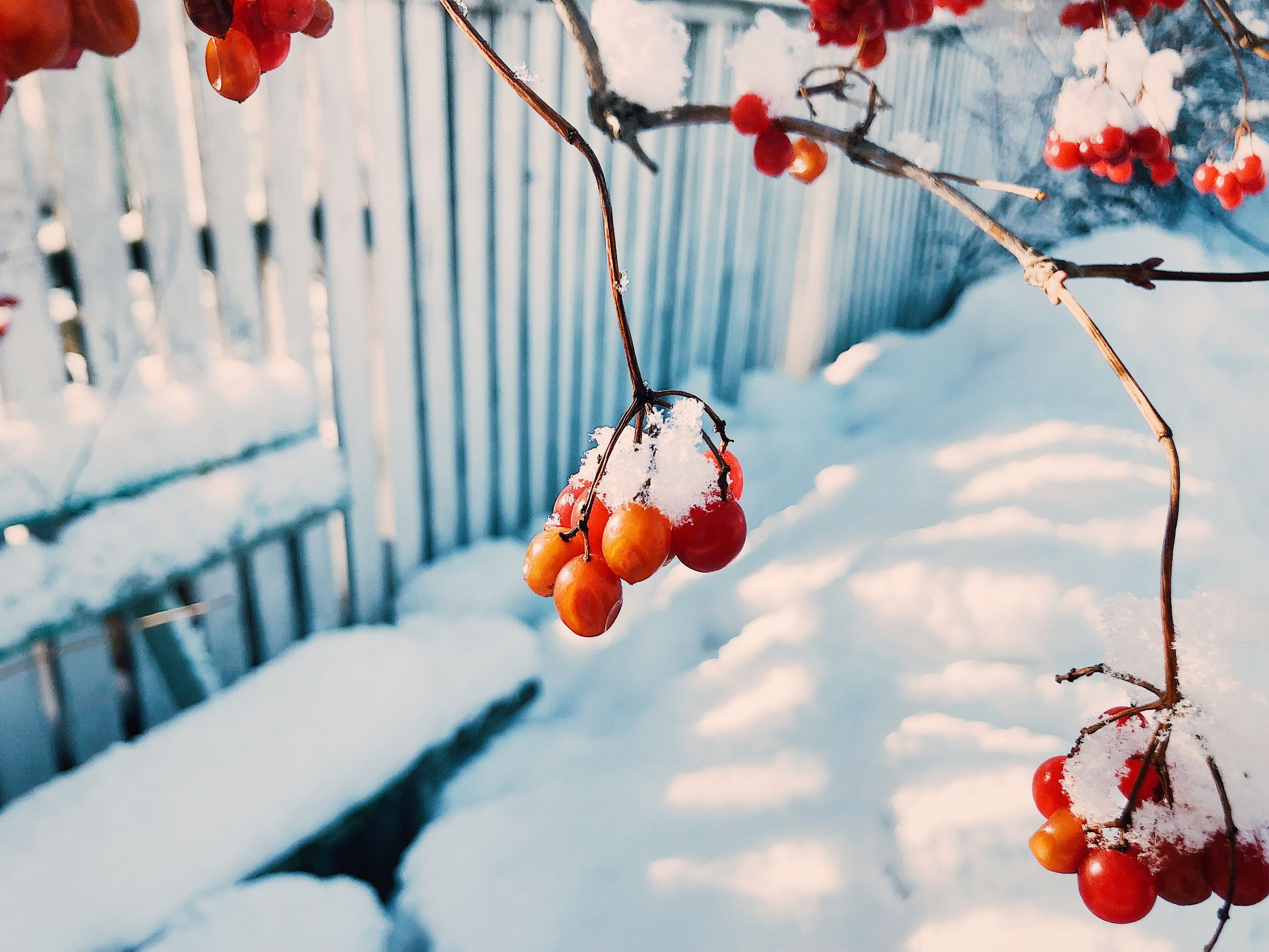 fruit, food and drink, food, healthy eating, winter, snow, nature, berry fruit, cold temperature, day, focus on foreground, twig, freshness, plant, red, close-up, tree, branch, no people, outdoors, ripe, rowanberry