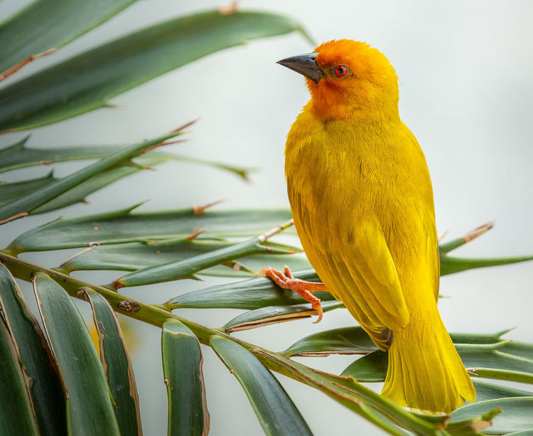 Eastern Golden Weaver Birding Nature Wildlife & Nature Animal Animal Themes Animal Wildlife Animals In The Wild Beauty In Nature Bird Close-up Day Focus On Foreground Green Color Leaf Nature No People One Animal Outdoors Perching Perching Bird Plant Plant Part Vertebrate Wildlife Yellow