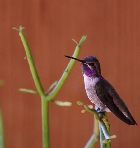 Humming Bird, lavender throat, humming bird on succulent