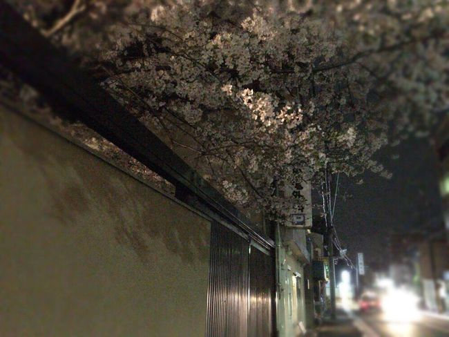 Kyoto Sakura 2017 Sakura Kyoto,japan Kyoto NIght Lights Kyoto Night Sakura Sakura 2017 Cherry Blossoms Cherry Blossom Kyoto Sakura Kyoto Tradisional Street Kyoto Street Kyoto Temple Night