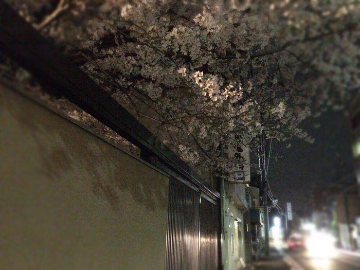 Kyoto Sakura 2017 Sakura Kyoto,japan Kyoto NIght Lights Kyoto Night Sakura Sakura 2017 Cherry Blossoms Cherry Blossom Kyoto Sakura Kyoto Tradisional Street Kyoto Street Kyoto Temple Night