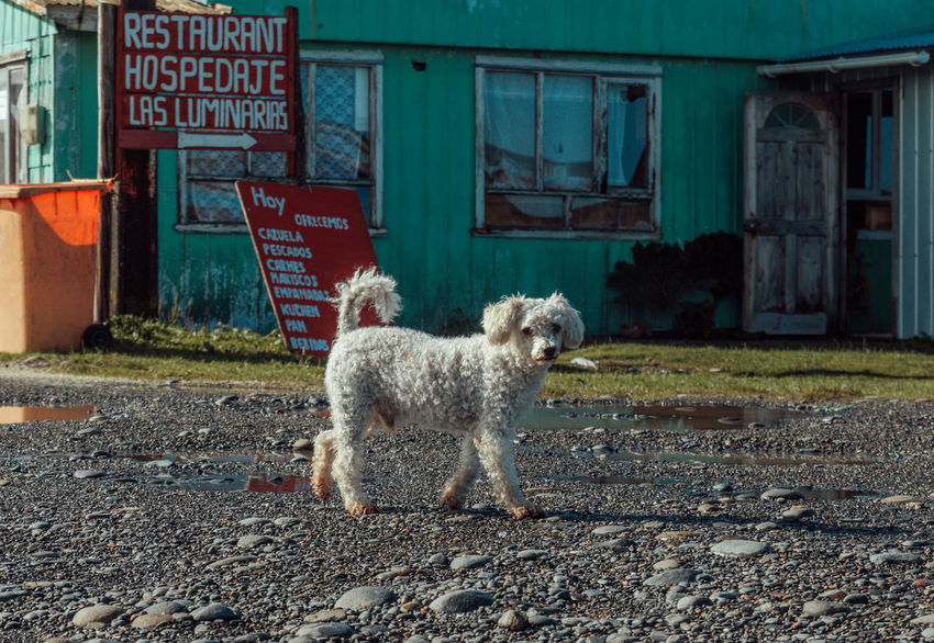 Chiloé, Chile Poodle Sad Dog Sign Tristesse Wanderlust Animal Themes Day Dog Domestic Animals Mammal No People One Animal Outdoors Pets Poor Dog Text Travel Destinations