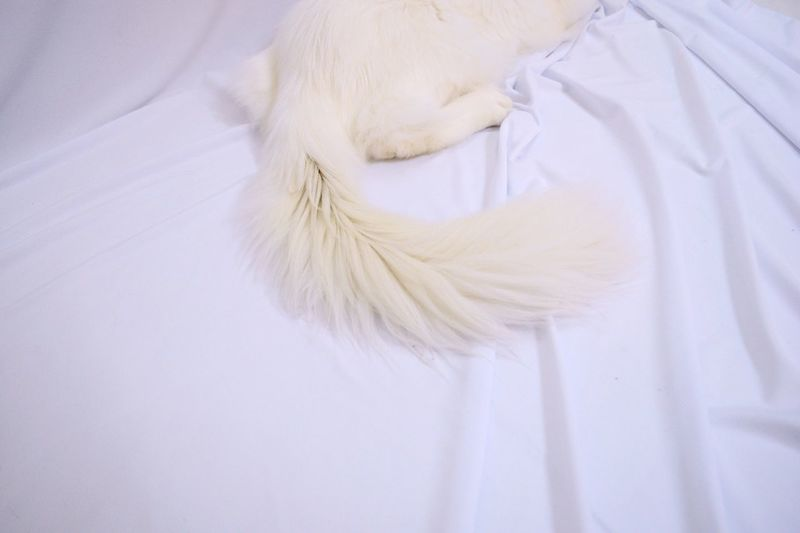 Ari II. White Cat Paw White Color Pets Indoors  Close-up Domestic Animals Bedroom Pet Portraits