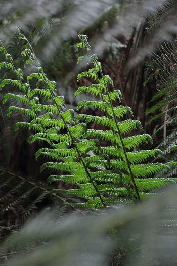 Rainforest Regenwald Tasmanie Weldborough Pass Rainforest Australia Rainforest Walks TasmaniaAustralia Tasmanien