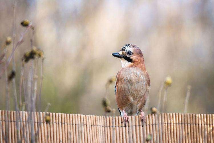 Close-up of bird perching on wooden railing, jaybird