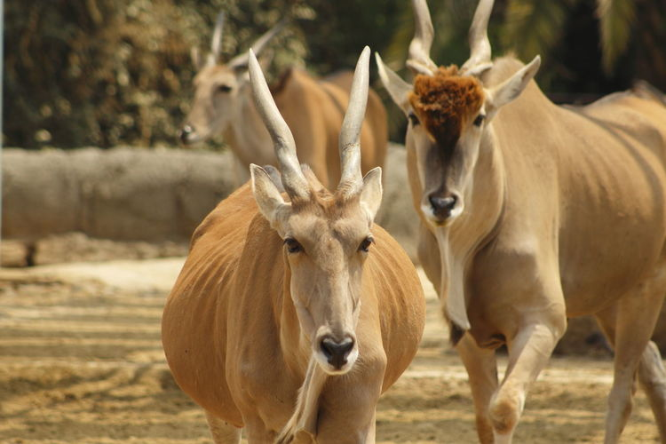 Close-Up Portrait Of Horned Animals