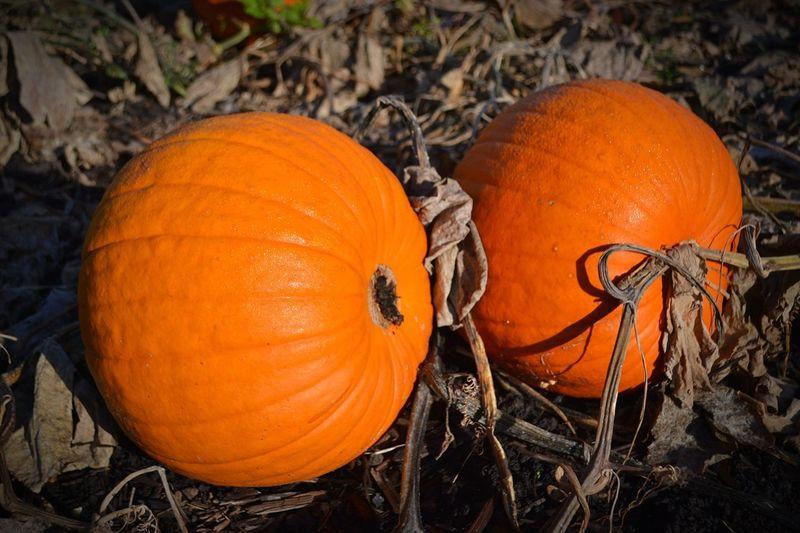 Pumpkin!Pumpkin!