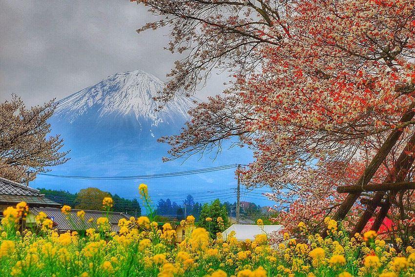 カラフル 静岡 富士宮 下馬桜 菜の花 EyeEm Eyemphotography Eyemnaturelover EyeEm Best Shots Mt_FUJI 富士山