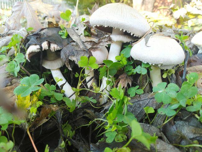 Fly Agaric Fly Agaric Mushroom Toadstool Fungus Mushroom Leaf Vegetable Close-up