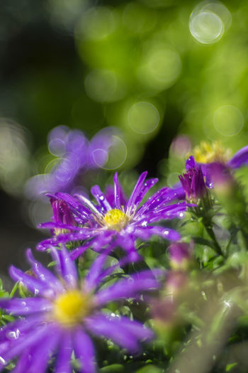 [Leica Hektor-P2 85mm f/2.8] Flower Flowering Plant Plant Freshness Beauty In Nature Growth Vulnerability  Fragility Selective Focus Close-up Purple Petal Flower Head Nature Inflorescence No People Day Outdoors Pollen Dew Smmer Flowers