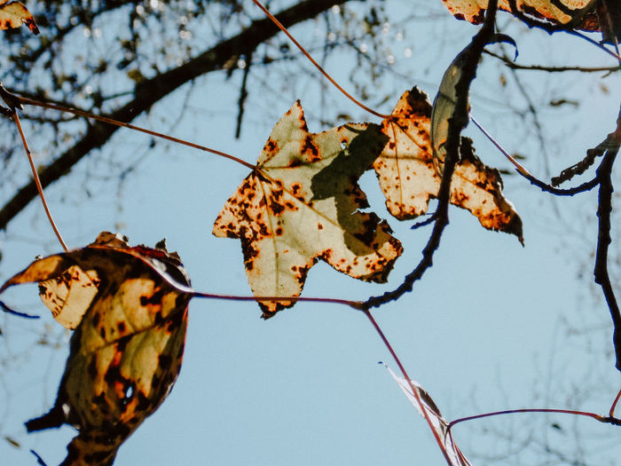 Hojas Tree Plant Branch Focus On Foreground Nature Sky No People Low Angle View Day Growth Leaf Beauty In Nature Close-up Plant Part Autumn Outdoors Tranquility Clear Sky Fragility Dry Change Leaves