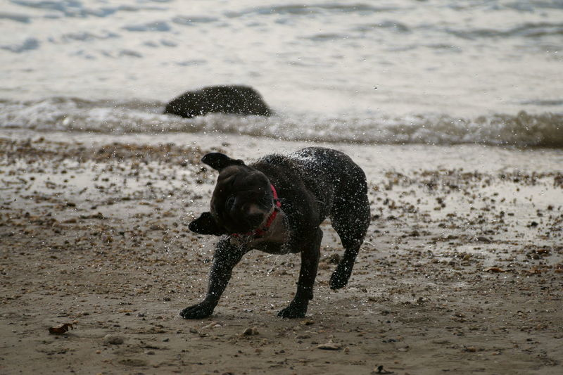 Wet Dog Shaking Water Off At Beach