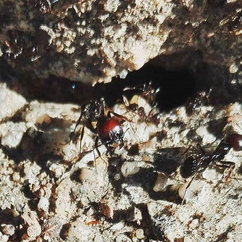 Hormigas Bicho Bichos TagsPorMeGustas PrimerPlano Naturaleza Animales Animal InstaNaturaleza Instabueno FotoDelDia VidaSalvaje Tierra