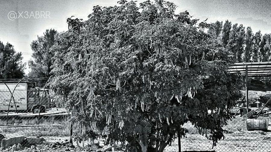 HDR Bw KSA Saudiarabia Tree Car Old شجرة سيارة قديمة  القصيم الربيعية السعودية