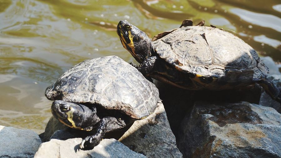 Animal Themes Animal Wildlife Animal Animals In The Wild Reptile Water Turtle No People High Angle View Day Lake Rock